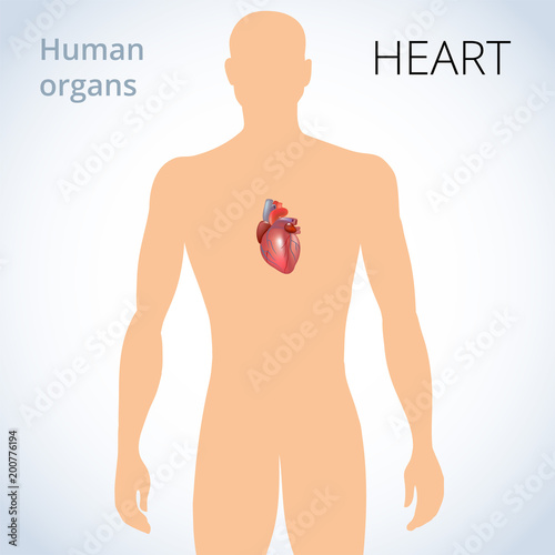 the location of the heart in the body, the human circulatory system ...