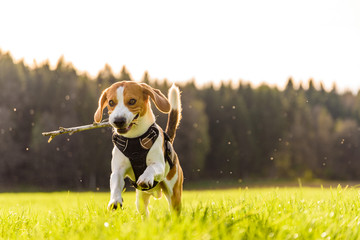 Dog Beagle outdoor in a field near forest