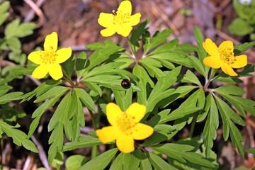 Nierenfleckiger Kugelmarienkäfer (Chilocorus renipustulatus) auf Gelbem Windröschen (Anemone ranunculoides)