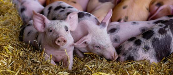Ferkel Schweine Säue
