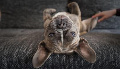 Cute French bulldog looking at camera. Lazy dog at home.