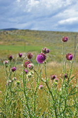 Purple thistle wildflowers.