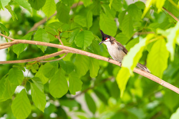 A red-whiskered bulbul bird sit on a tree branch.