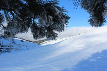 Snowy Pine Tree Needles
