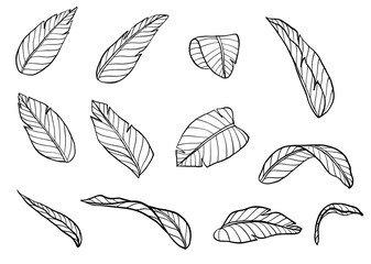 Banana leaf vector by hand drawing.Green leaf on white background.Tropical palm leaves art highly detailed in line art style.Natural green elements, hand drawn illustration