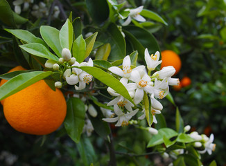 Valencian orange and orange blossoms. Spain.Spring