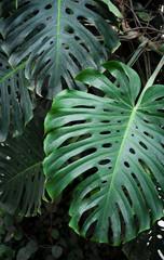 monstera tropical foliage closeup