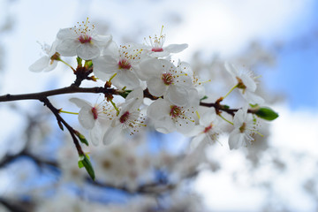White plum blossom in spring