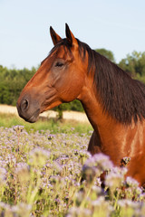 Portrait of nice horse on meadow violet flowers