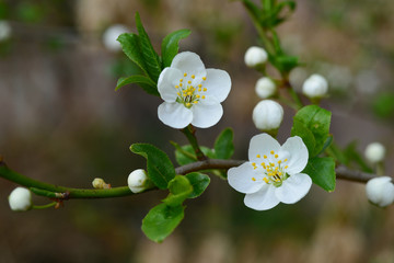 Plum tree flowering branch on blurry background