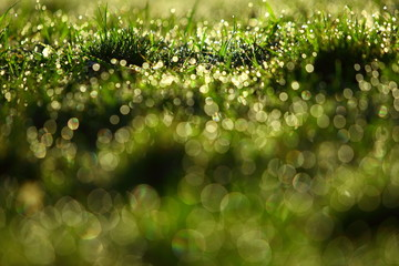Morning dew in the sun on thin leaves of green grass.