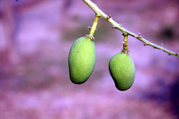 Fresh tender young mangoes on tree in orchard. Green mango in a local garden tree to forest. National fruit of India, Pakistan, Philippines. Sold in fruit markets & export import worldwide business