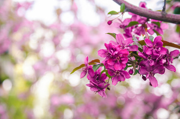 Beautiful pink blossoming tree with bokeh background