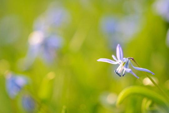 Romantische Blausterne in der Frühlingswiese