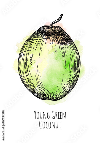 Ink Sketch Of Young Green Coconut