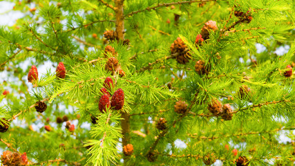 Young cones on a larch branches on the sky background. Aspect ratio 16:9