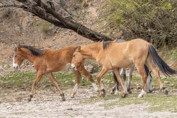 Wild Horses Near the Salt River in the Arizona Desert