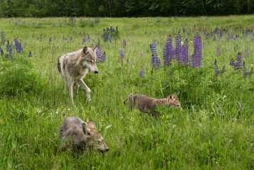 Juvenile Grey Wolf (Canis lupus) and Pups in Field