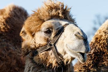 beautiful camel (head) against the blue sky