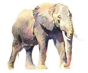 Watercolor animal elephant isolated on white background