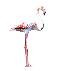 Watercolor animal bird flamingo isolated on white background