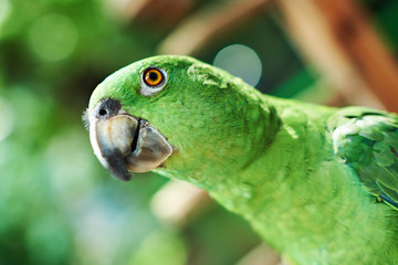 Head of green parrot