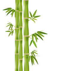 Vector isolated realistic illustration of green organic bamboo plant isolated on white background.