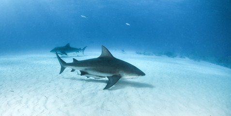 Bull shark at the Bahamas