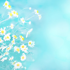 Delicate blue Spring summer background with chamomile flowers