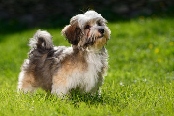 Cute little Havanese puppy stands in the grass and looks up