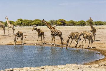 Giraffe (Giraffa) am Wasserloch, at the water hole,