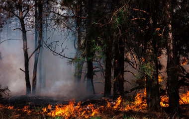 wildfire at sunset, burning pine forest .