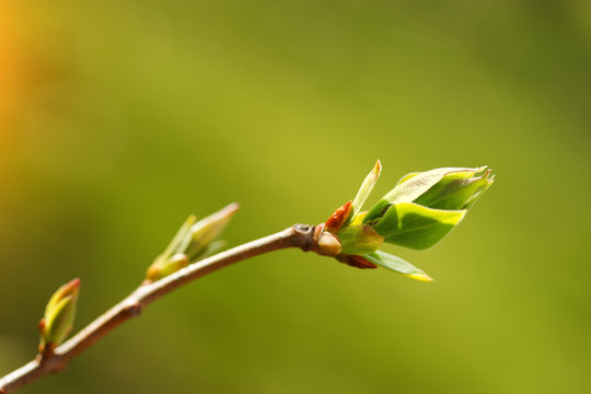 tree bud macro / young tree bud early spring