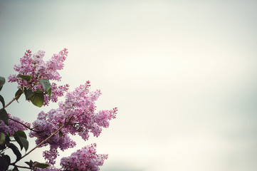 Lilac blossoming branches, spring mood, Selective focus