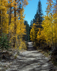 Yellow leaves of Aspen trees in Nevada, USA, in the Fall on the trail from Spooner Lake to Marlette Lake on a blue-sky day with no clouds