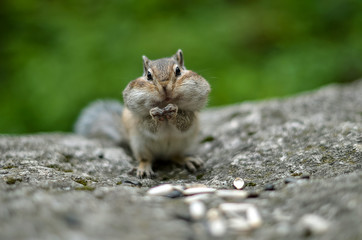 Chipmunk with cheeks full of nuts and seeds 3