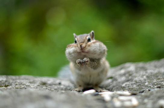Chipmunk with cheeks full of nuts and seeds 6