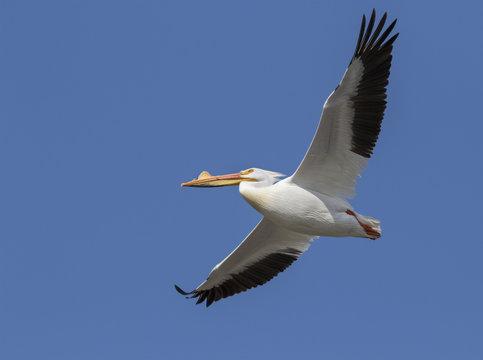 American white pelican (Pelecanus erythrorhynchos) in breeding plumage flying, Saylorville, Iowa, USA
