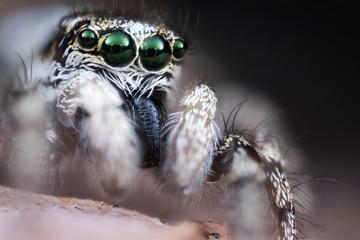 Foto op Canvas Hand getrokken schets van dieren Jumping spider macro
