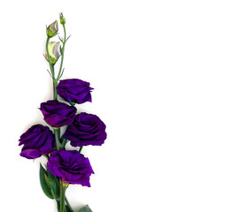 Violet flowers Eustoma (common names: Texas bluebells, bluebell, lisianthus, prairie gentian) on a white background with space for text. Top view, flat lay.