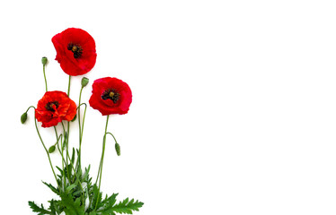 Wall Murals Poppy Flowers red poppies (Papaver rhoeas, common names: corn poppy, corn rose, field poppy, red weed) on a white background with space for text. Top view, flat lay.