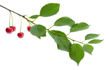 Branch of the cherry with several ripe berries and leaves