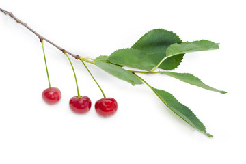 Branch of the cherry with berries and leaves