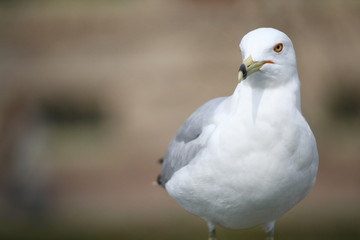 portrait of a Ring-Billed seagull bird