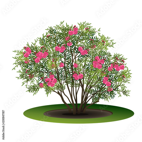 bush nerium oleander with pink flowers stock image and royalty free