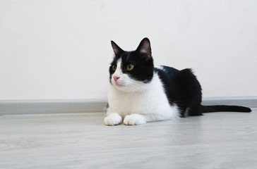 Young beautiful cute cat lying on the floor in a bright room. Curiously looking to the left side of the frame, watching something. Cute black and white cat profile