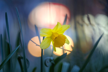Beautiful yellow narcissus in park at evening 2