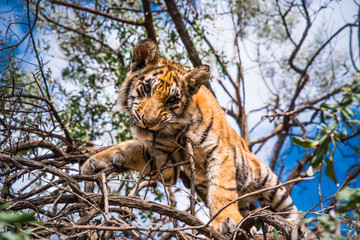 Young Tiger on the tree in Jungle in Africa