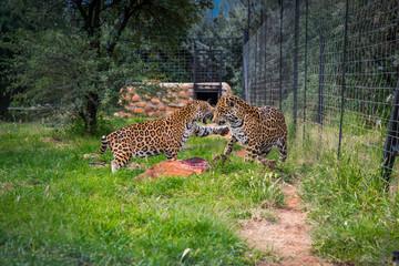 Wild cheetah couple in ZOO