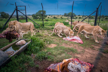 Lions eating together in ZOO, Animals freedom concept photo
